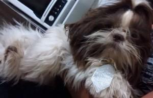 2016. Crédito: Laudirene Pereira/Divulgação. Detetives de animais. O shih tzu Bob, de Laudirene Pereira, está desaparecido desde janeiro.