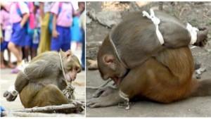 macaco-amarrado-e1466385520221