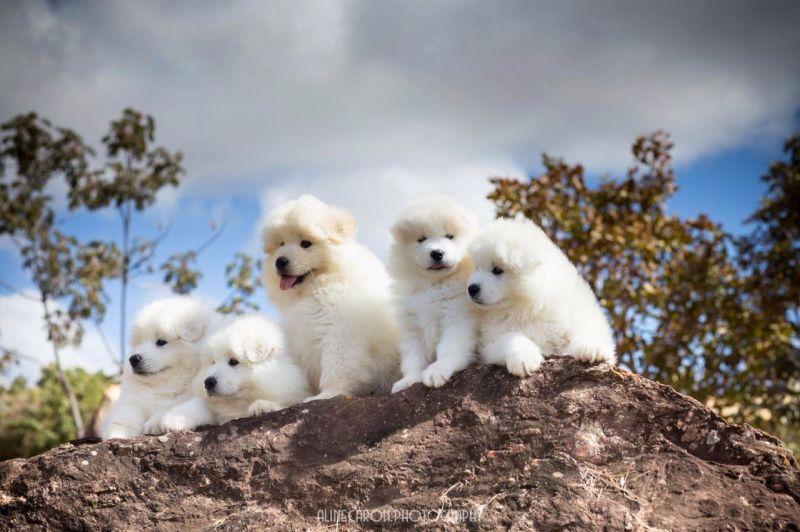 Cães da raça samoieda foram fotografados por Aline Caron.