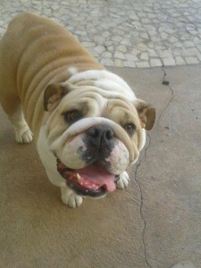 Foto: Arquivo Pessoal. Bichos. Há um ano a cadela Olivia sofre de cardiomiopatia dilatada e cuida do sobrepeso para não desenvolver maiores complicações no seu quadro.