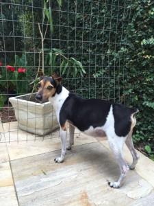 Foto de um cãozinho da raça paulistinha que faz uso de medicamentos-animais
