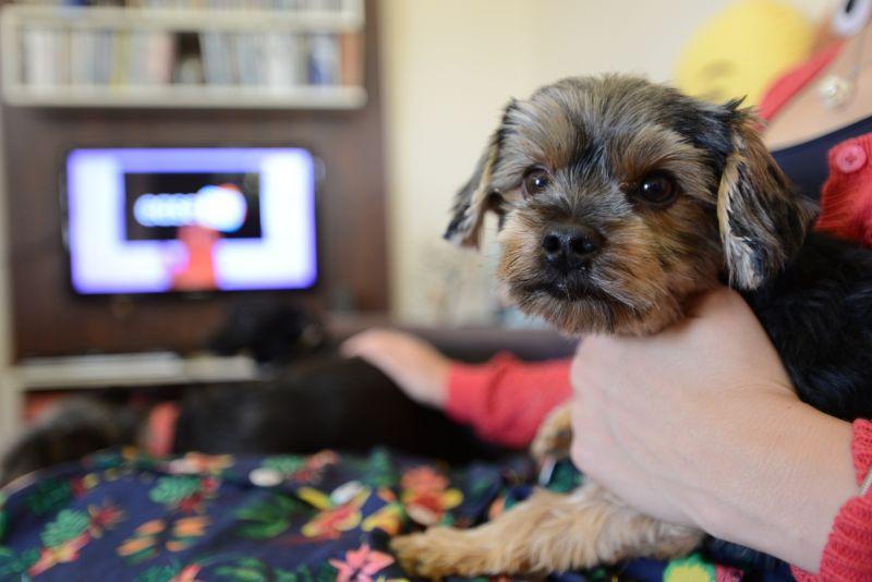 Programa bom pra cachorro:imagem mostra dona de um cãozinho que gosta de assistir televisão.