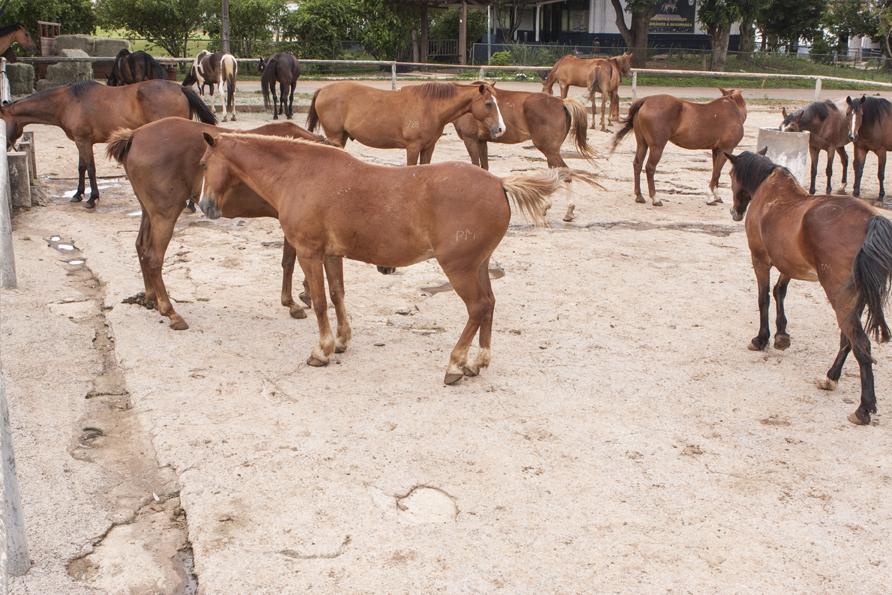 Maus tratos: imagem mostra Cavalos da Polícia Militar do Distrito Federal que iam ser leiloados.