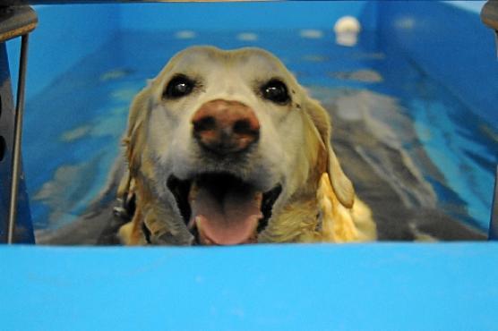 Labradora Clara, fazendo hidroterapia
