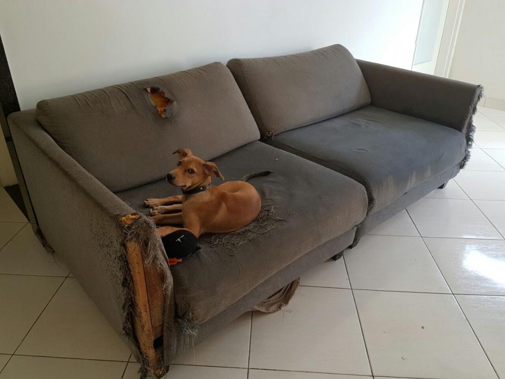 Tommy, 8 meses: o destruidor de sofás. Crédito: Arquivo pessoal