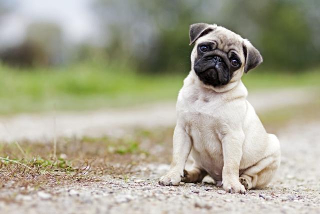 Pug é uma das raças propensas a intolerância alimentar Crédito: Divulgação