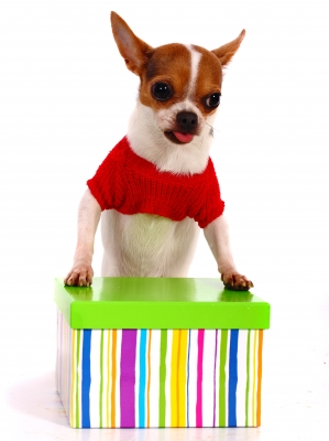 Chihuahua-gift-box