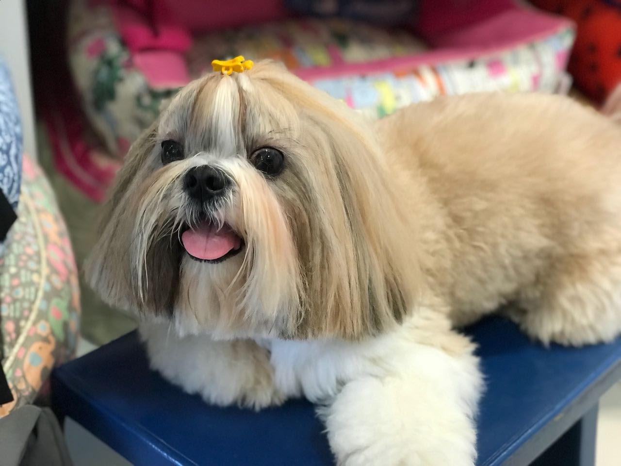 Corte de pelo shih tzu