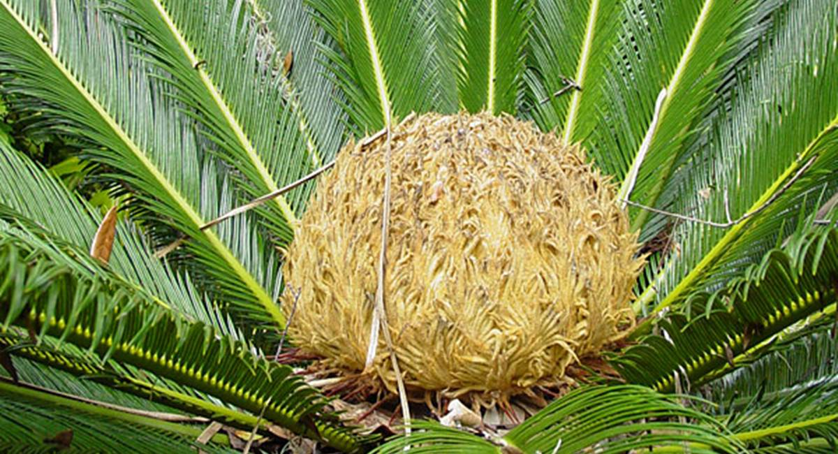 A planta Cica representa um perigo para animais de estimação