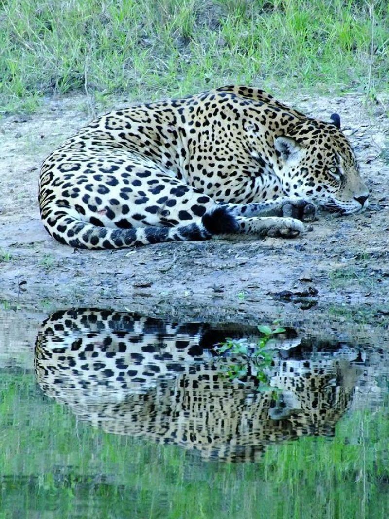 Crédito: Walfrido Tomas/Divulgação. Colar brasileiro de monitoramento animal. Onça no Pantanal.