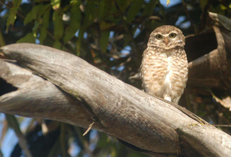 11/05/2006. Crédito: Marcelo Ferreira/CB/D.A Press. Brasil. Brasília - DF. Coruja buraqueira em árvore no centro de Brasília.