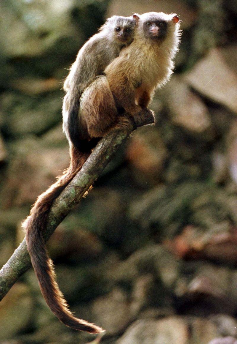 Brasil. Brasilia - DF. Pauta: Zoologico. Animais com filhotes. Sagui-branco. Brasilia, 20/11/01. Foto: Edson Ges/CBPress. Neg. 068358. Ed. Cidades. TC (1 A 7)Zoologico. Animais com filhotes. Sagui-branco (CALLITHRIX MELANURA)22 nov. 2001. Este e meu, Capa.2 dez. 2001. Este e meu, p. 3.