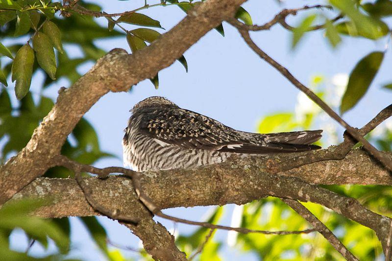 Credito: Tancredo Maia Filho/Divulgacao. Bacurau norte americano, espécie migratório da América do Norte; quando começa a esfriar, viaja cerca de 9 mil quilômetros; este indivíduo faz parada em uma mesma árvore.