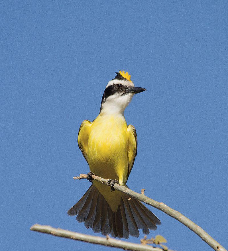 Credito: Tancredo Maia Filho/Divulgacao. Bem - te-vi eriça o topete amarelo quando em disputa do território ou para impressionar a fêmea quando está em cortejo nupcial.