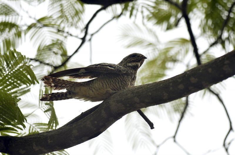 18/11/2015. Crédito: Marcelo Ferreira/CB/D.A Press. Brasil. Brasília - DF. Observadores de pássaros. Pássaro bacurau-norte-americano, no Parque da Cidade.