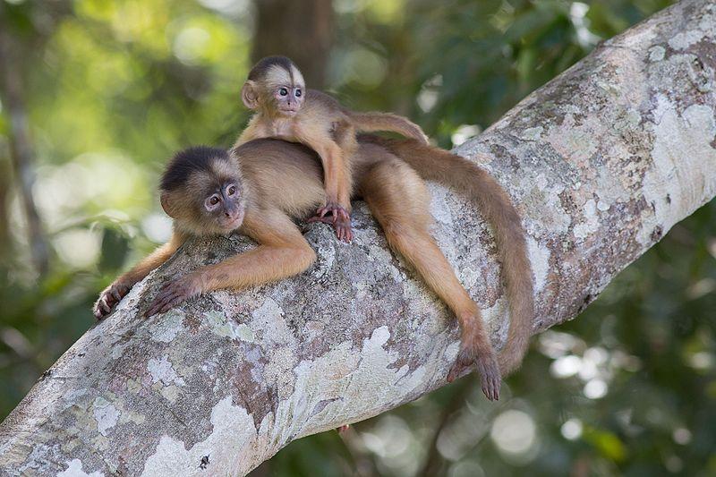 Wiki-Loves-Earth-Brasil-2017-Macaco_caiarara_(Cebus_albifrons)_com_filhote