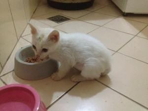 foto do gatinho Apolo, seus donos trocaram a ração por alimentação natural.