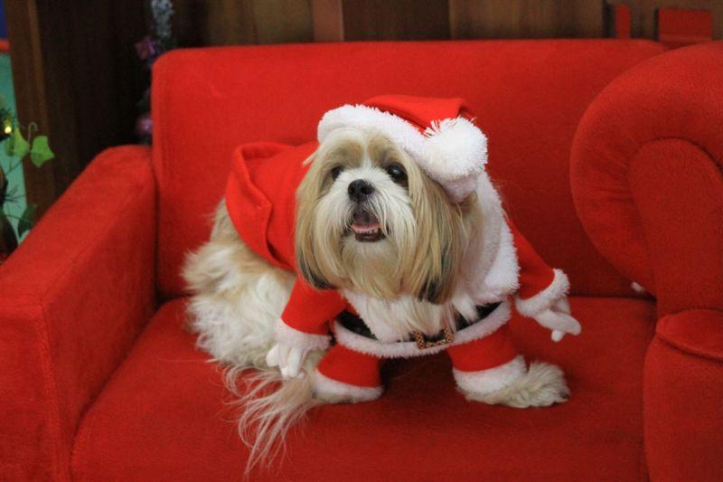 imagem mostra cão da raça shitzu para ilustrar matéria sobre cuidados com os pets na Ceia de Natal
