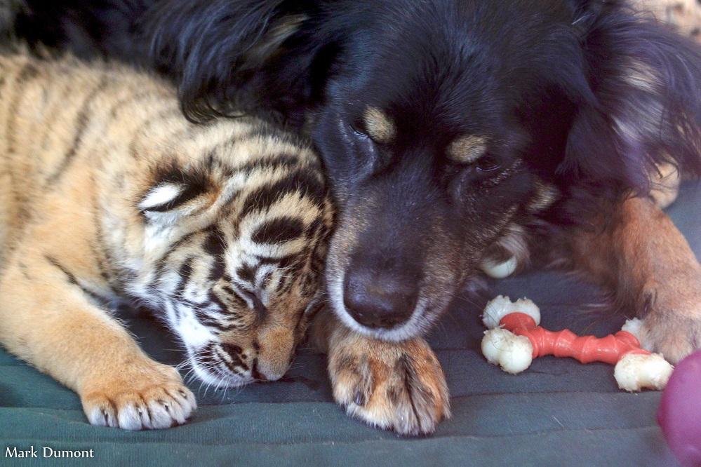 Foto: Mark Dumont/ Blakely dormindo com as tigrinhas
