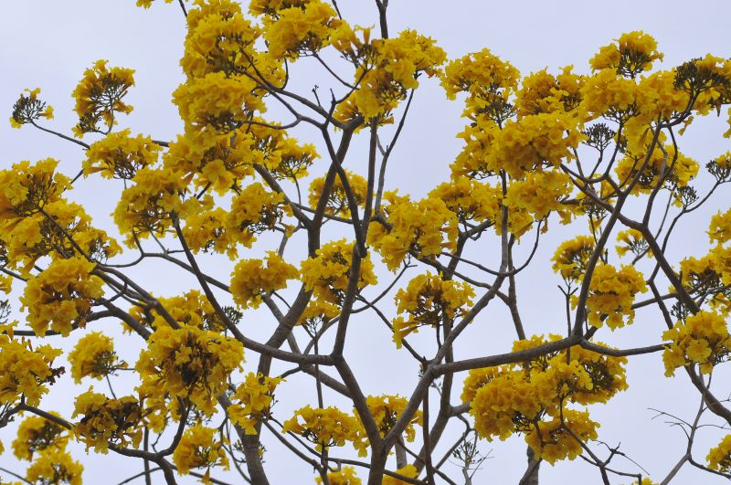 16/08/2016 Crédito: Minervino Junior/CB/D.A Press. Brasil. Brasília - DF. Florada dos Ipês. Ipe amarelo florido no Zoologico de Brasilia.
