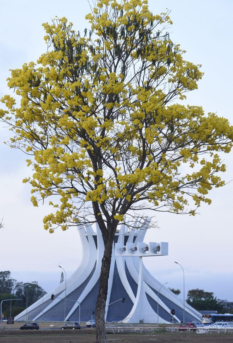 22/08/2016. Credito: Ed Alves/CB/D.A Press. Brasil. Brasilia - DF. Ipês amarelos floridos no Eixo Monumental.